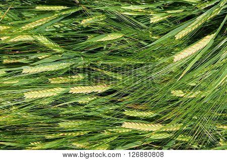 Laying down straws of ripening green-yellow barley