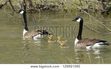 A  family of Canada Goose (Branta canadensis)  swimming in a lake in York County Pennsylvania, USA in the spring, shortly after the goslings hatched.