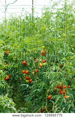 Tomato Plants Growing In Greenhouse
