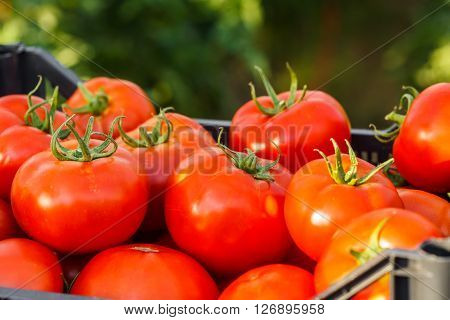 Harvested Tomato In Crate