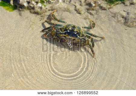 Saltwater shore crab (Carcinus maenus) in its natural habitat on the sand in Normandy