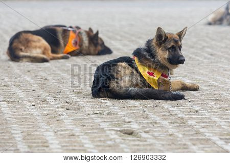Sofia, Bulgaria - April 20, 2016: Search and rescue dogs. The animals are part of the rescue team of Red Cross Organization.