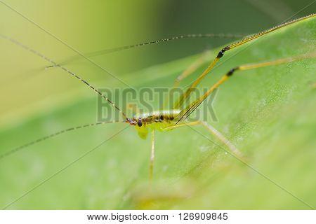 Close up grasshopper on leaf in the garden
