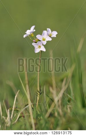 Cuckoo Flower or Lady's Smock - Cardamine pratensis