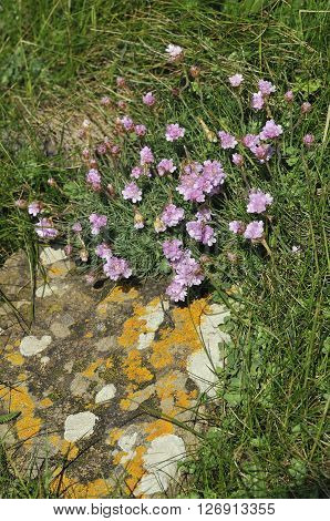 Thrift or Sea Pink - Armeria maritima with Lichens on rocks