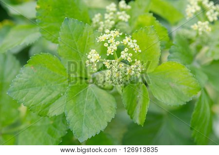 Alexanders (Smyrnium olusatrum) flowers and leaves. Pungent plant in the family Apiaceae with pale green and white flowers