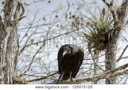 Curious Black Vulture perched in Everglades tree