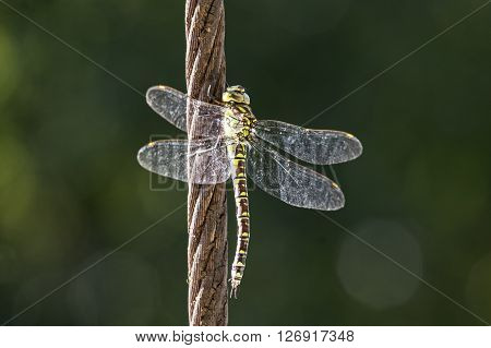 A female Green hawker on a cable
