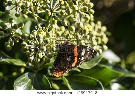 A red Admiral on blooming ivy in summer