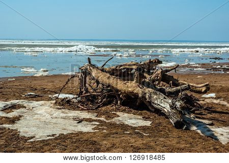 the river bank from the ice remains spring. the dry snag of a tree is thrown out by a wave