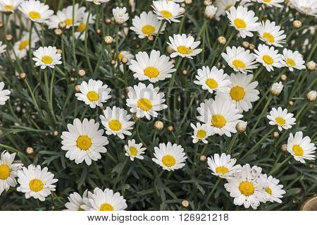 A Busch of blooming Marguerites in spring