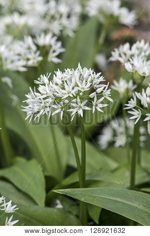 A Blooming wild garlic plant in spring