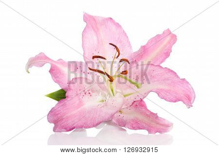 single pink lilly flower isolated on white