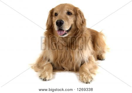 Golden Retriever In Studio