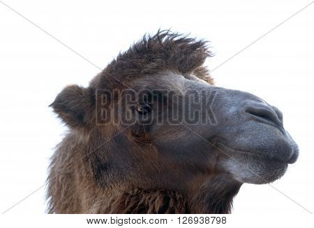 portrait of the beautiful camel on white background