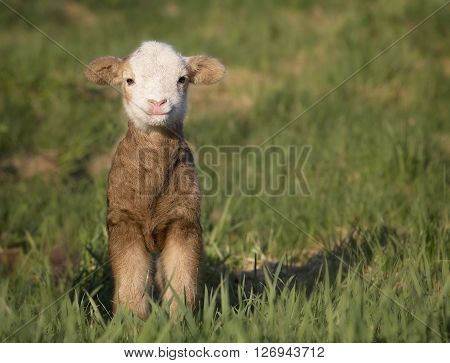 One day old Katahdin lamb, ewe, hair sheep, smiling for the camera.  Springtime in Wisconsin.
