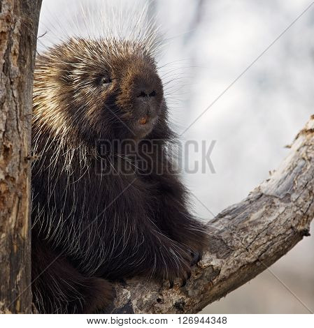 Square image of a North American Porcupine sitting in the crook of a tree, appearing to smile for the camera.