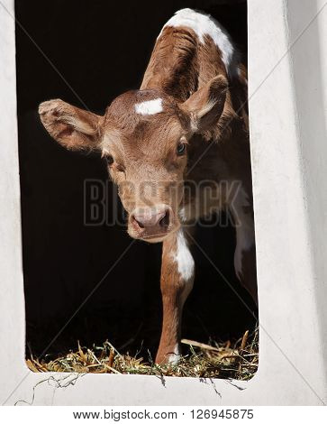 Young, Guernsey calf peeks out of her calf hutch.  Springtime in Wisconsin.