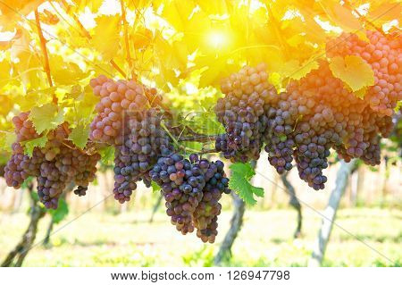 Purple red grapes with green leaves on the vine. Vine grape fruit plants outdoors. Sunset