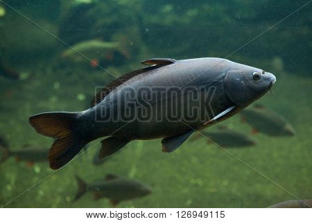 Mirror carp (Cyprinus carpio carpio). Wild life animal.