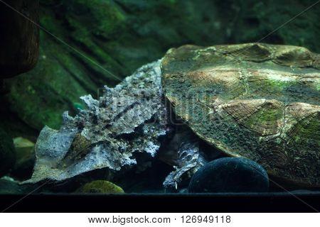 Mata mata (Chelus fimbriata). Wild life animal.