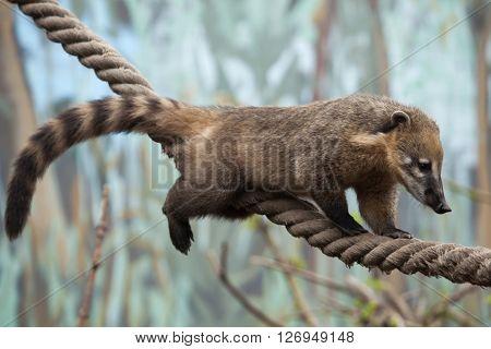 South American coati (Nasua nasua), also known as the ring-tailed coati. Wild life animal.