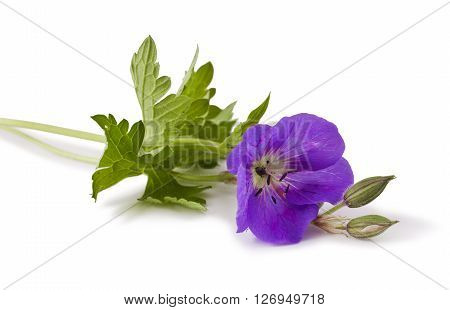 Meadow geranium (Geranium pratense) flower isolated on a white background