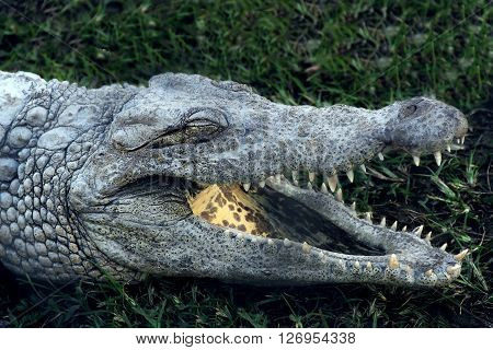 Alligator crocodile yawn with open mouth on the grass in park