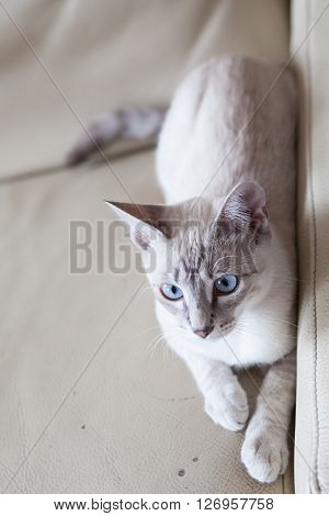 Blue eyes kitty lying on beige sofa
