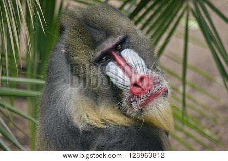 this is a close up of a mandrill