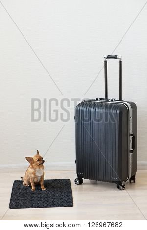 Large family polycarbonate luggage and small chihuahua dog on white wooden background.