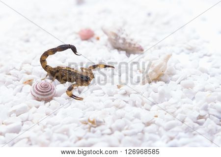 Brown scorpion on white stone and shell snail