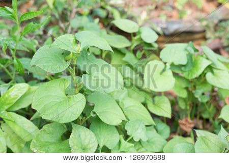 Herb houttuynia cordata, fresh green plant herbs