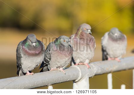 flock of pigeons sitting on the railing