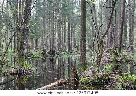 Natural swampy forest at springtime with old alder tree in foregroundBialowieza ForestPolandEurope