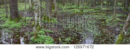 Springtime panorama of wet mixed forest with fresh green plant anemone mainly,Bialowieza Forest,Poland,Europe