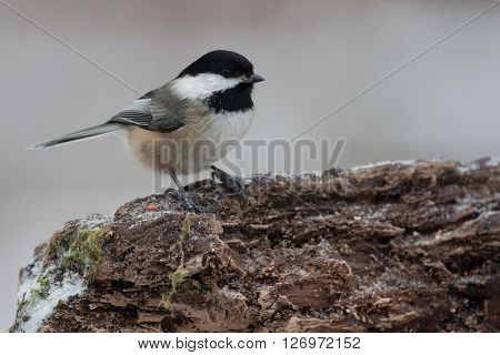Black Capped Chickadee on a Natural Wood Perch