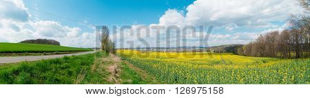 Panorama of yellow field rapeseed in bloom