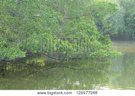 Mangrove trees on the river at Thailand