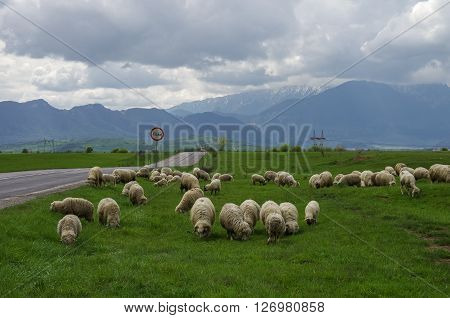 Sheep On The Meadow Near Road With Fagaras Mountains On Background, Southern Carpathians, Transylvan