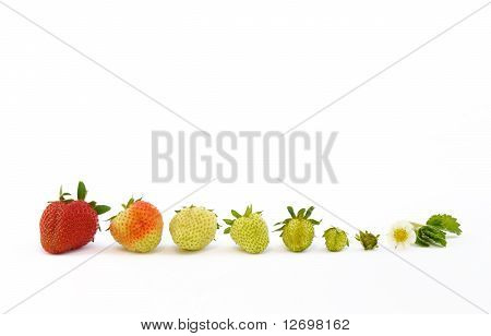 Strawberry growth isolated on white