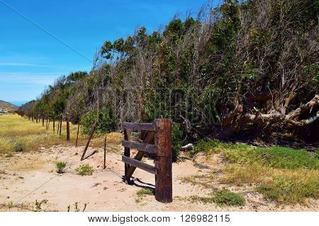 Row of Eucalyptus Trees used as windbreaks taken on a ranch in Santa Rosa Island, CA