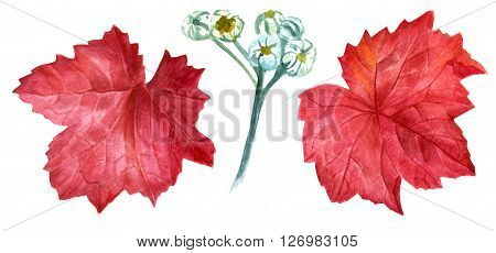 A watercolor drawing of two dark red heuchera leaves with a sketch of pale blue dusty miller buds hand painted on white background a set of garden themed design elements