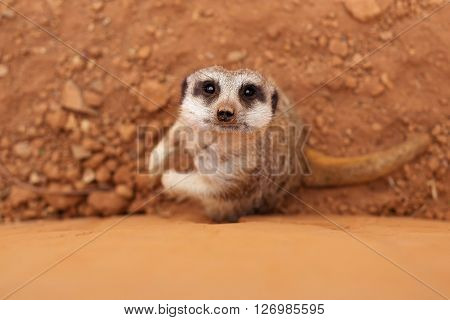 Meerkat standing at the wall and looking up