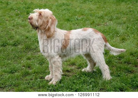 Typical Spinone Italiano dog in the spring garden