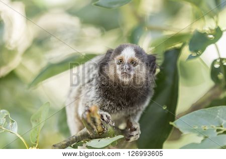 Marmoset monkey looking scared on a tree branch