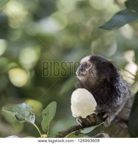 Marmoset monkey on a tree branch eating a banana
