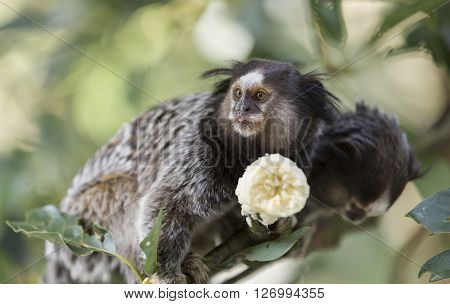 Two marmoset monkeys sitting on a tree branch and eating a banana