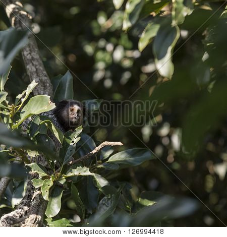 Marmoset monkey sitting on a tree branch