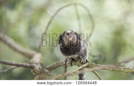 Marmoset monkey sitting on a tree branch and looking scared